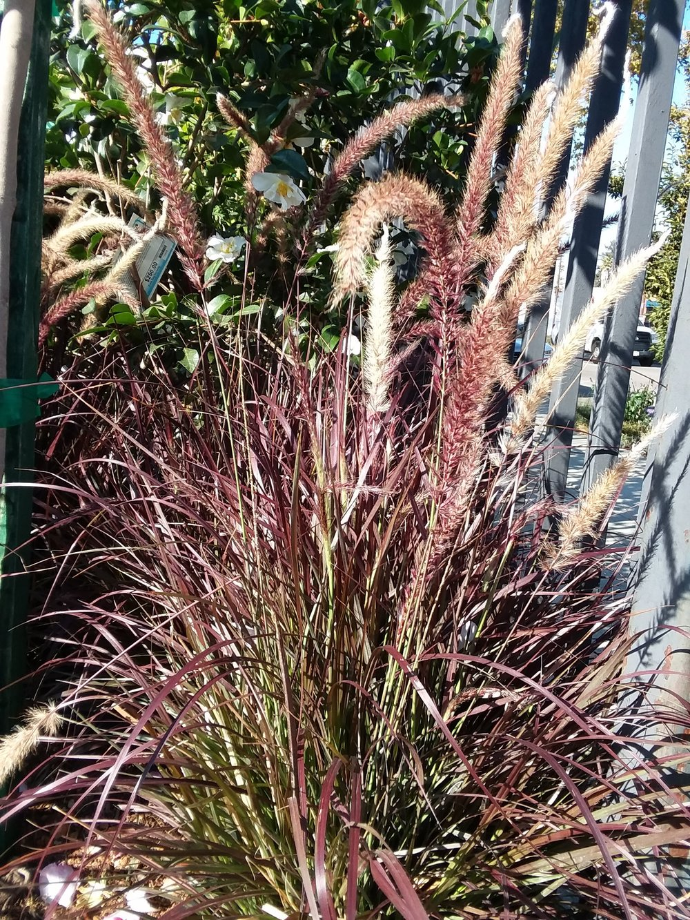 Pennisetum Setaceum 'Rubrum' Purple Fountain Grass 5 Gallon $24.99