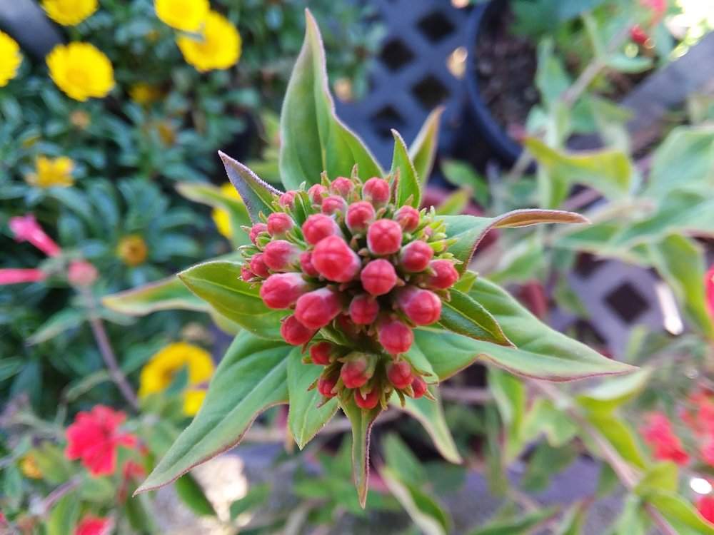 Bouvardia Ternifolia. Firecracker Bush, Scarlet Bouvardia