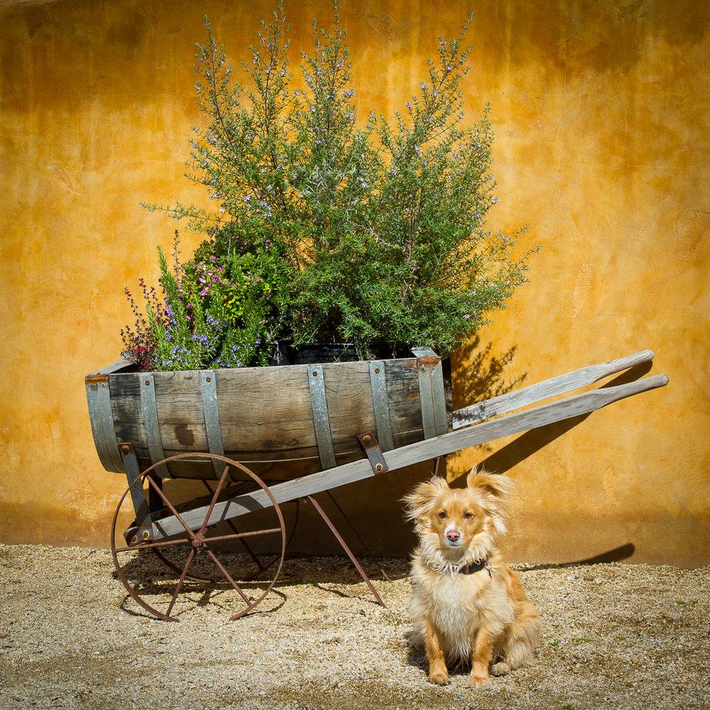 aver-family-vineyards-gilroy-winery-dog-with-barrel.jpg