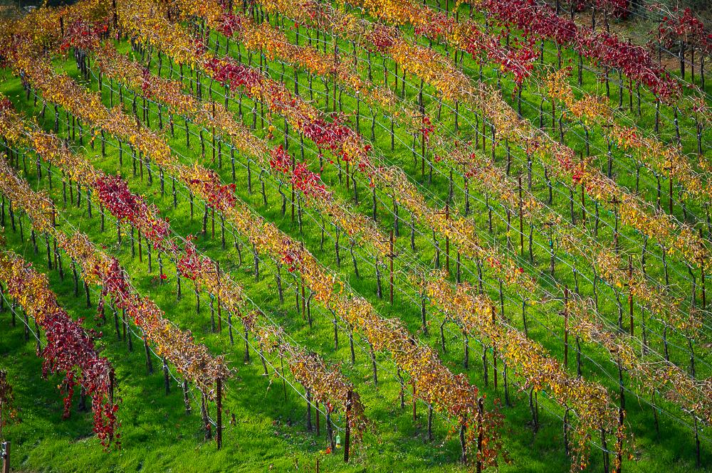 Aver-Family-Vineyards-Gilroy-Winery-Vines-in-fall.jpg