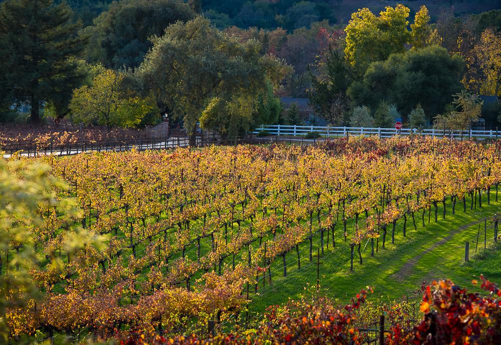 Aver-Family-Vineyards-Gilroy-Winery-Vineyard-Slop-In-Fall.jpg