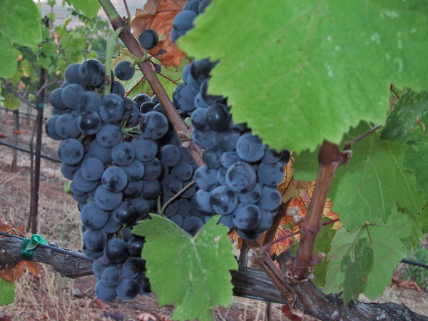 close-up-on-grapes.jpg