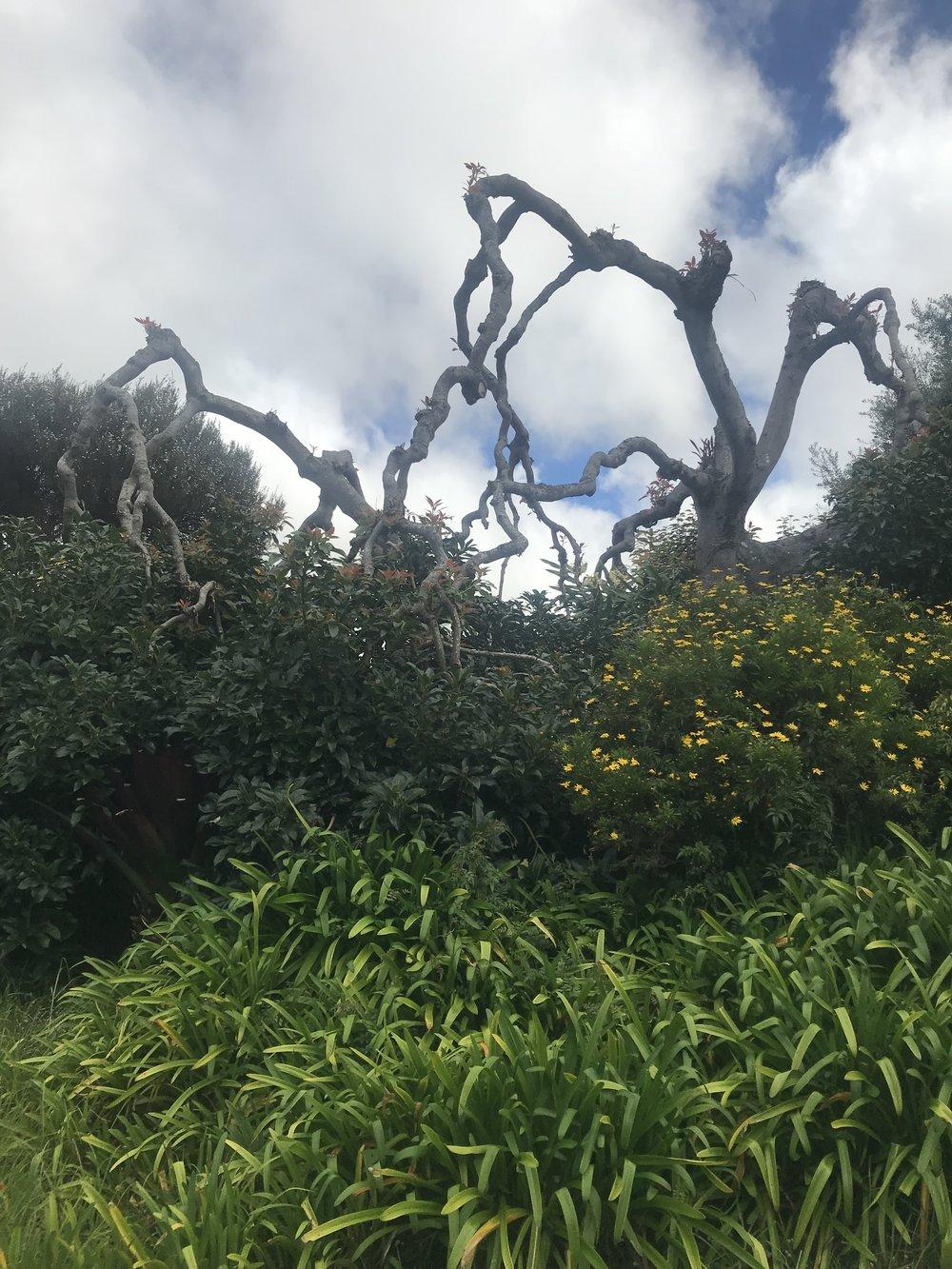 A bonsai avocado tree