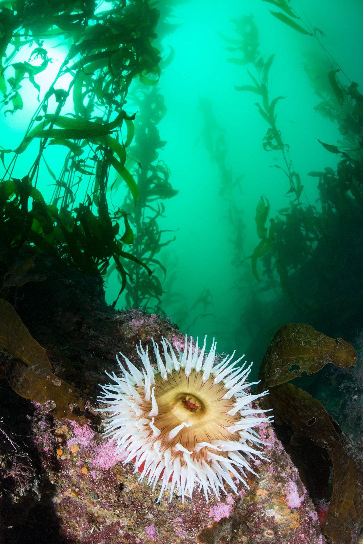 Urticina in Kelp