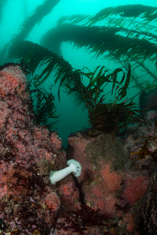 Metridium and Giant Kelp