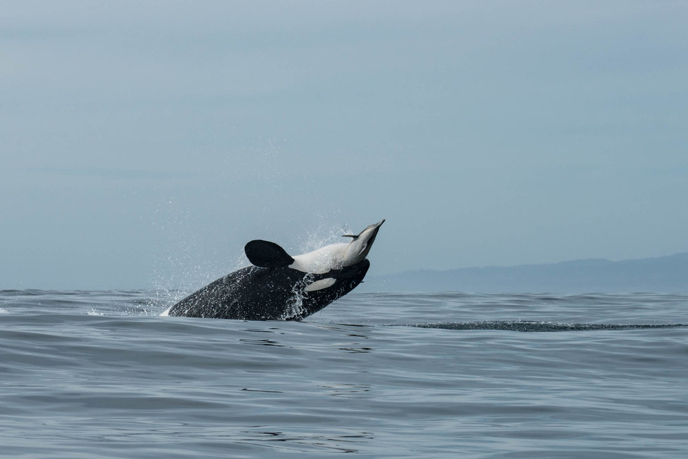 Orca Capturing Dolphin
