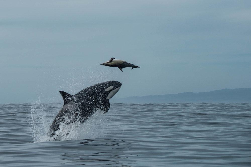 Emma Hunting Dolphin