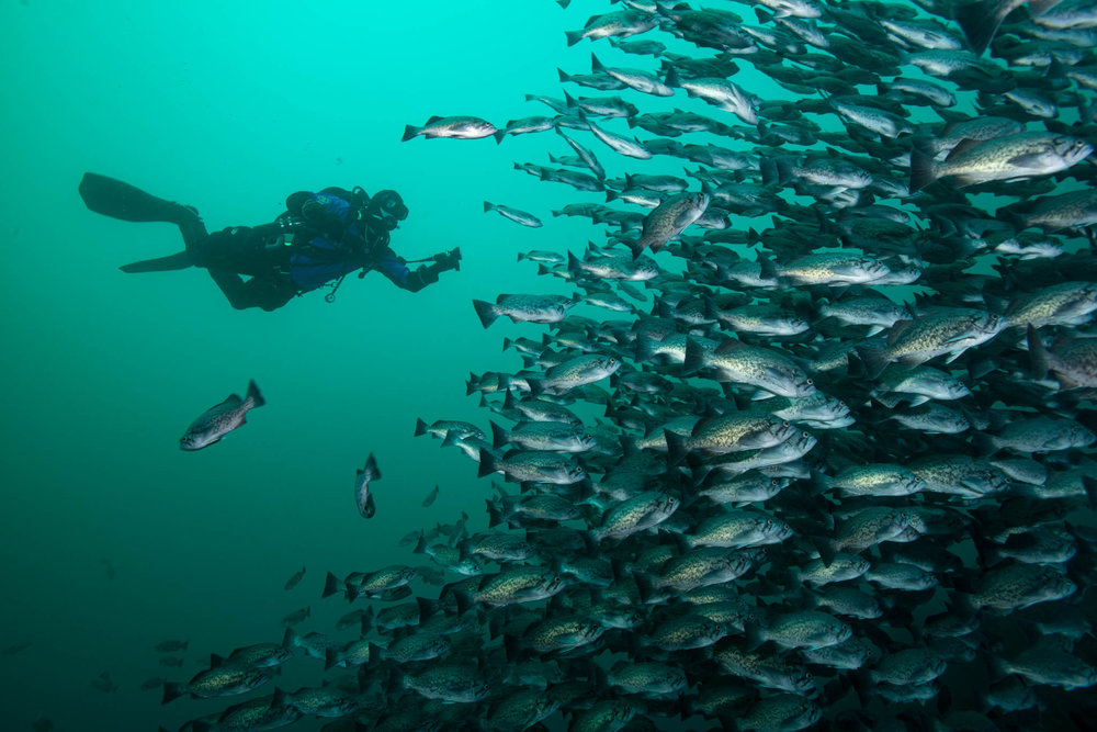 Diver and Blue Rockfish