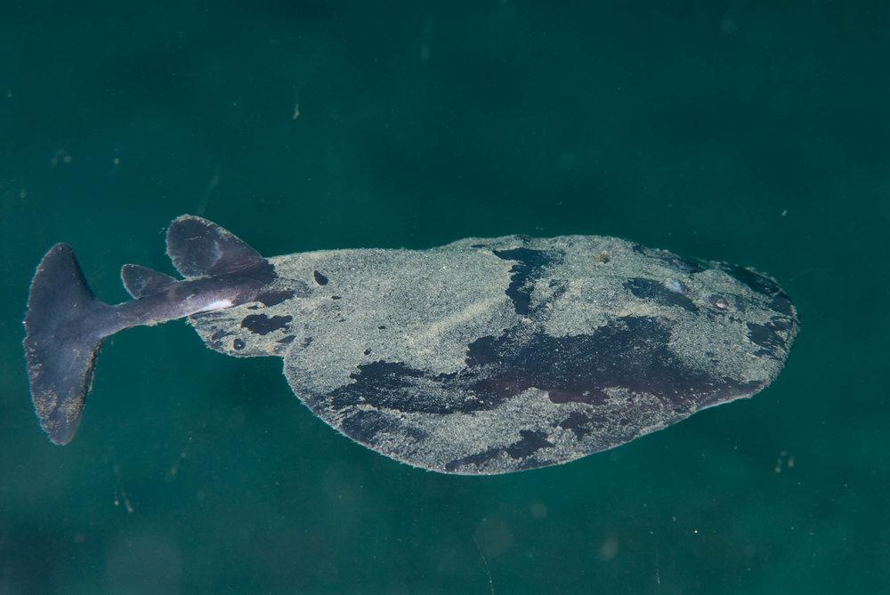 Pacific Torpedo Ray