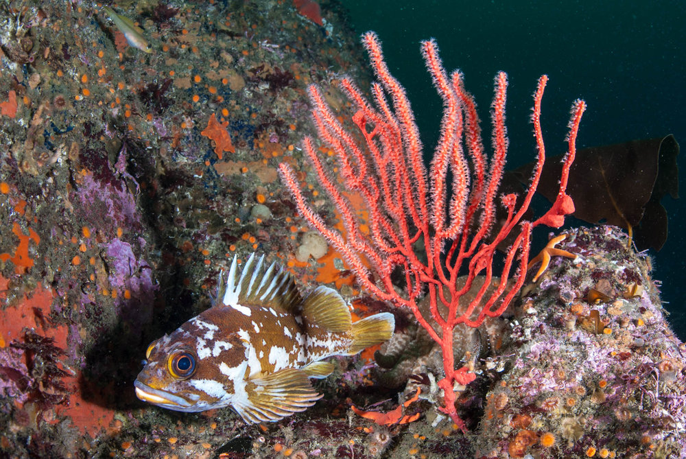 Gopher and Gorgonian