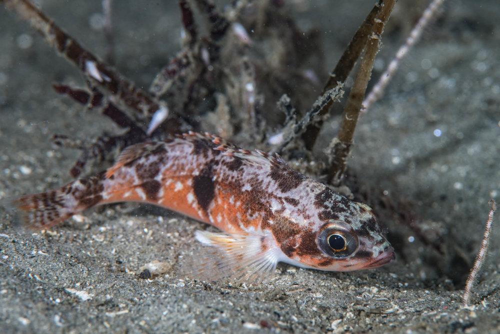Half-Banded Rockfish