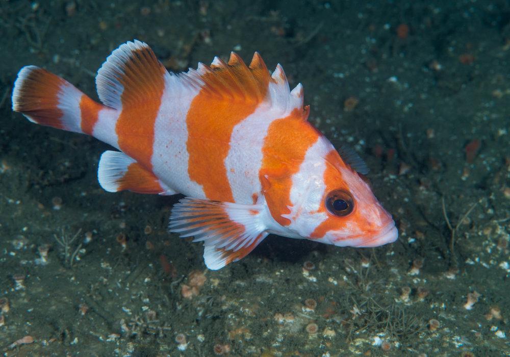 Flag Rockfish