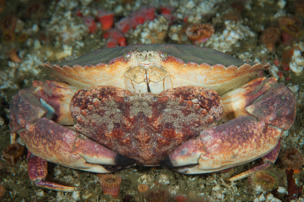 Rock Crab Love