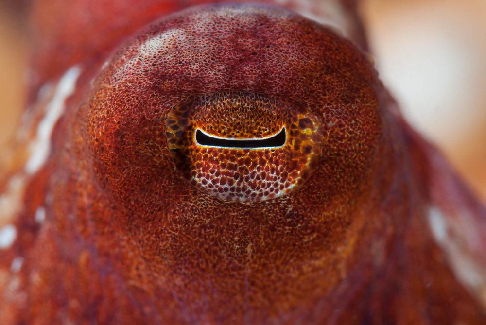 Red Octopus Eye