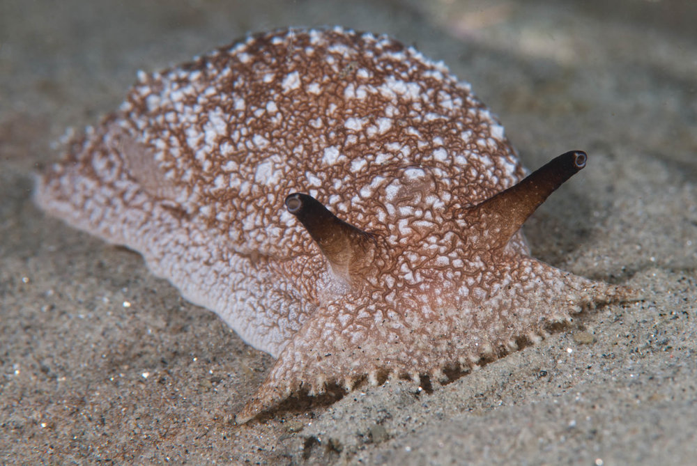 Pleurobranchaea californica