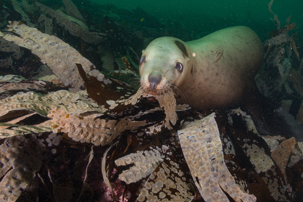 Kelp Chew Toy