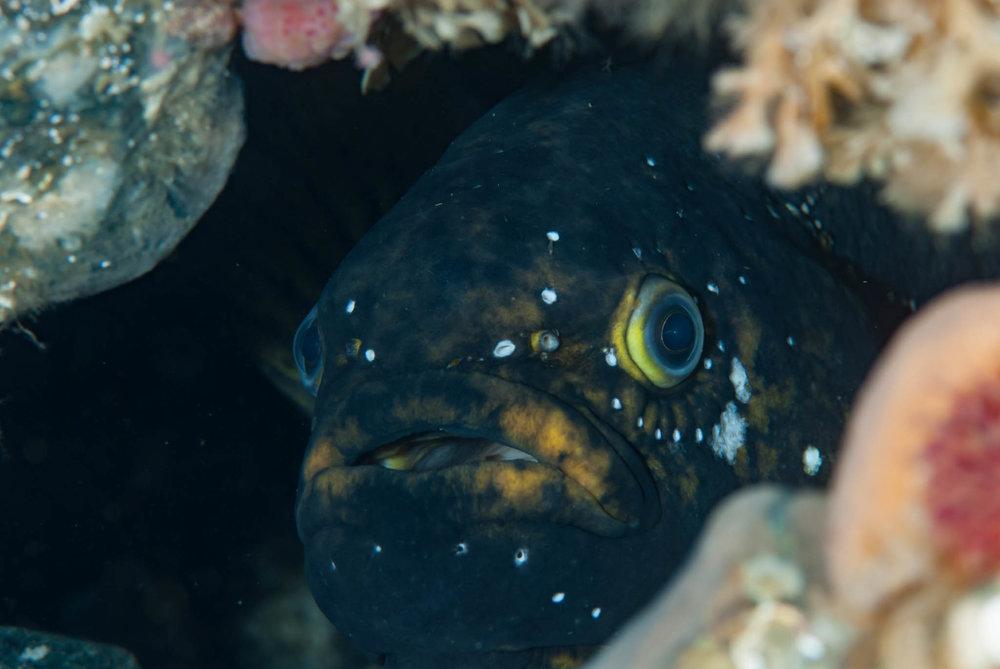 Prowfish