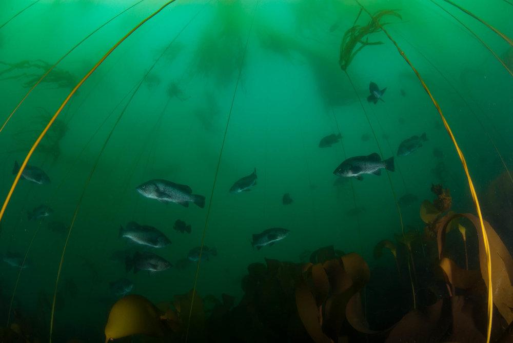 Black Rockfish in Bull Kelp