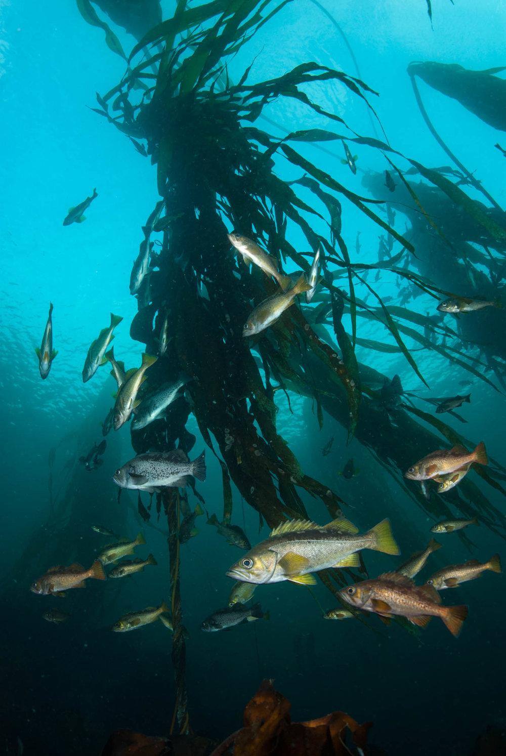 Rockfish in Kelp