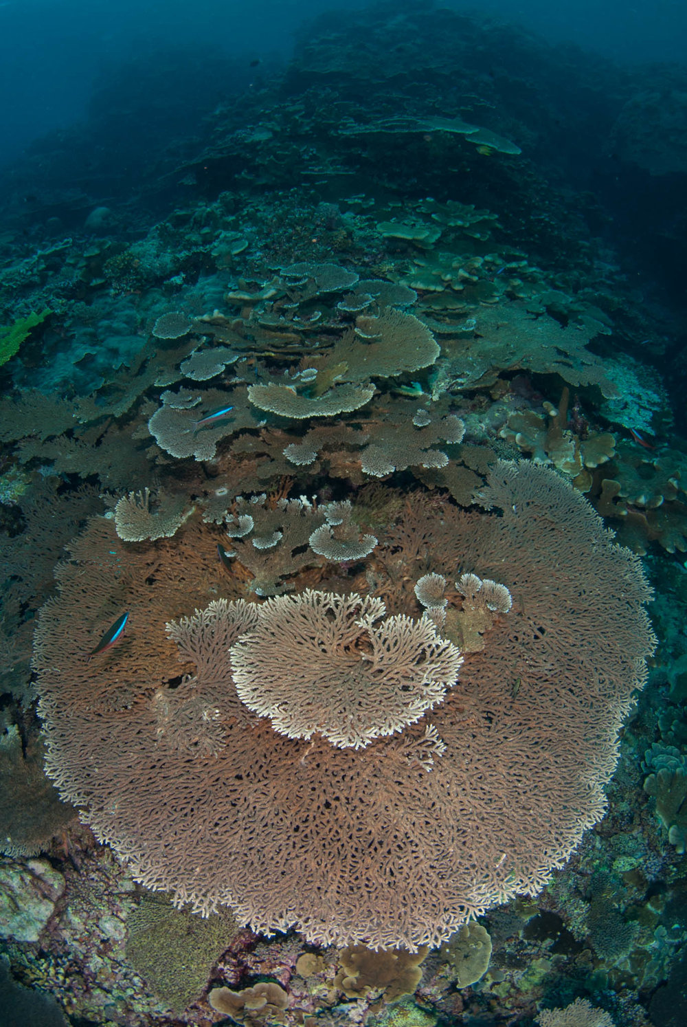 Plate Corals at Mary Island