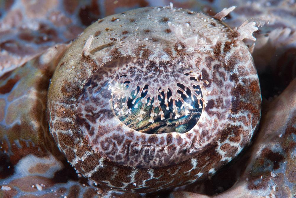Crocodile Fish Eye