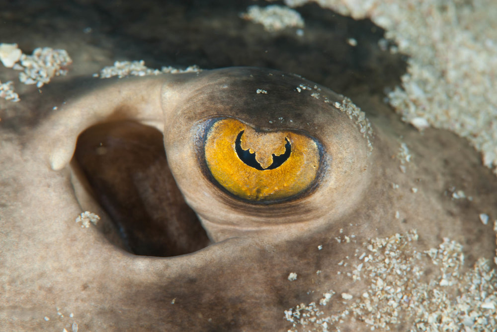 Stingray Eye