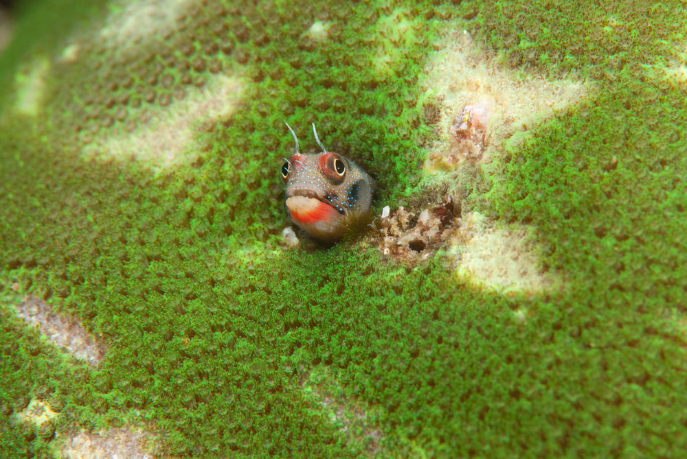 Barnacle Blenny