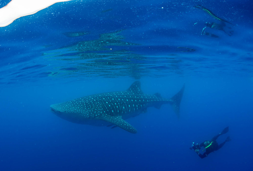 Chris Parsons and Whale Shark