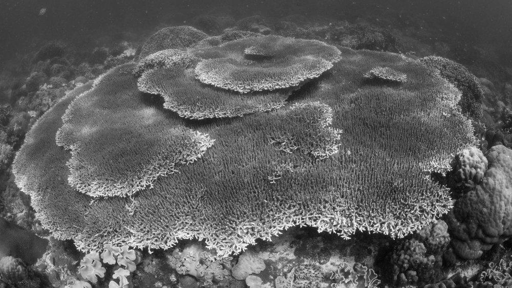 Plate Corals at Apo Island