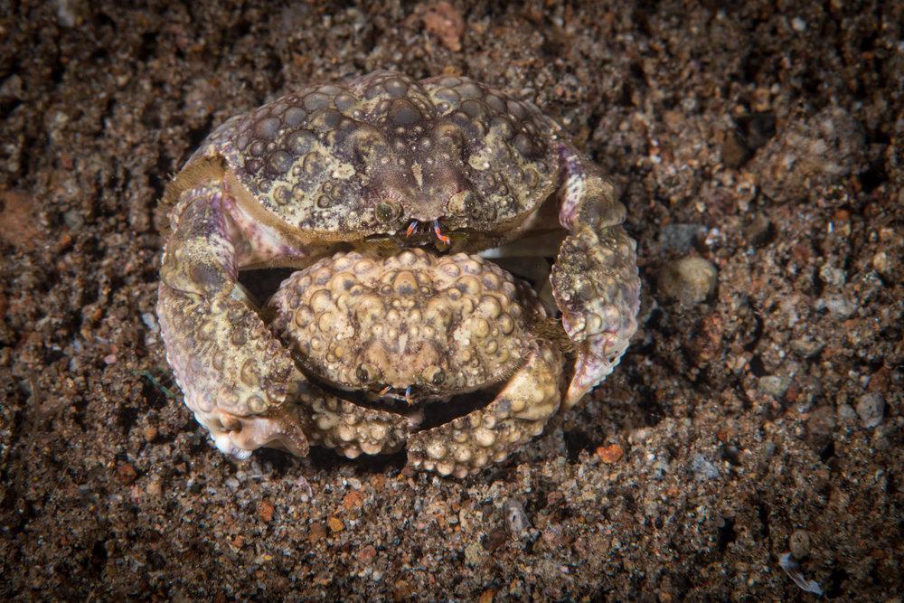 Box Crabs Cuddling