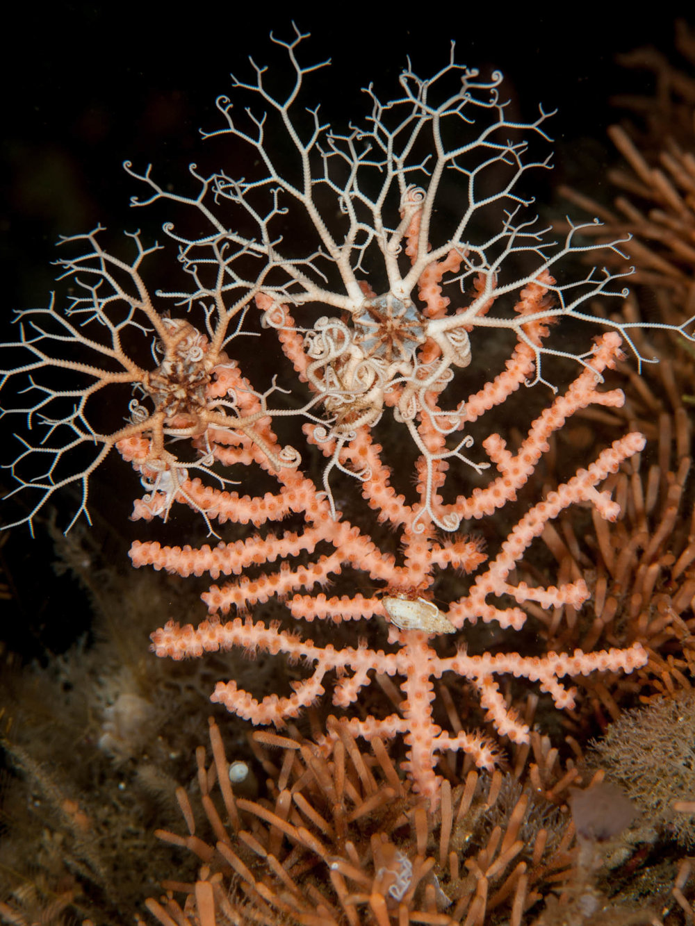 Basket Stars on Gorgonian