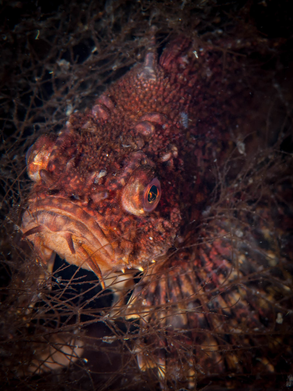 Crested Sculpin