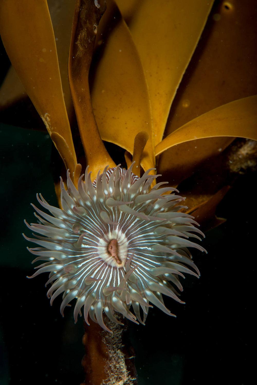 Brooding Anemone