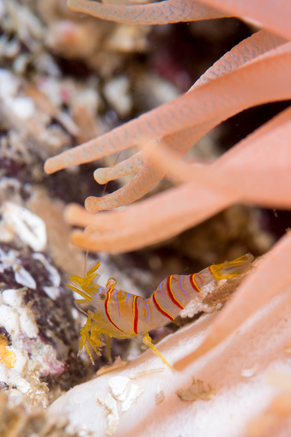 Candy Stripe Shrimp