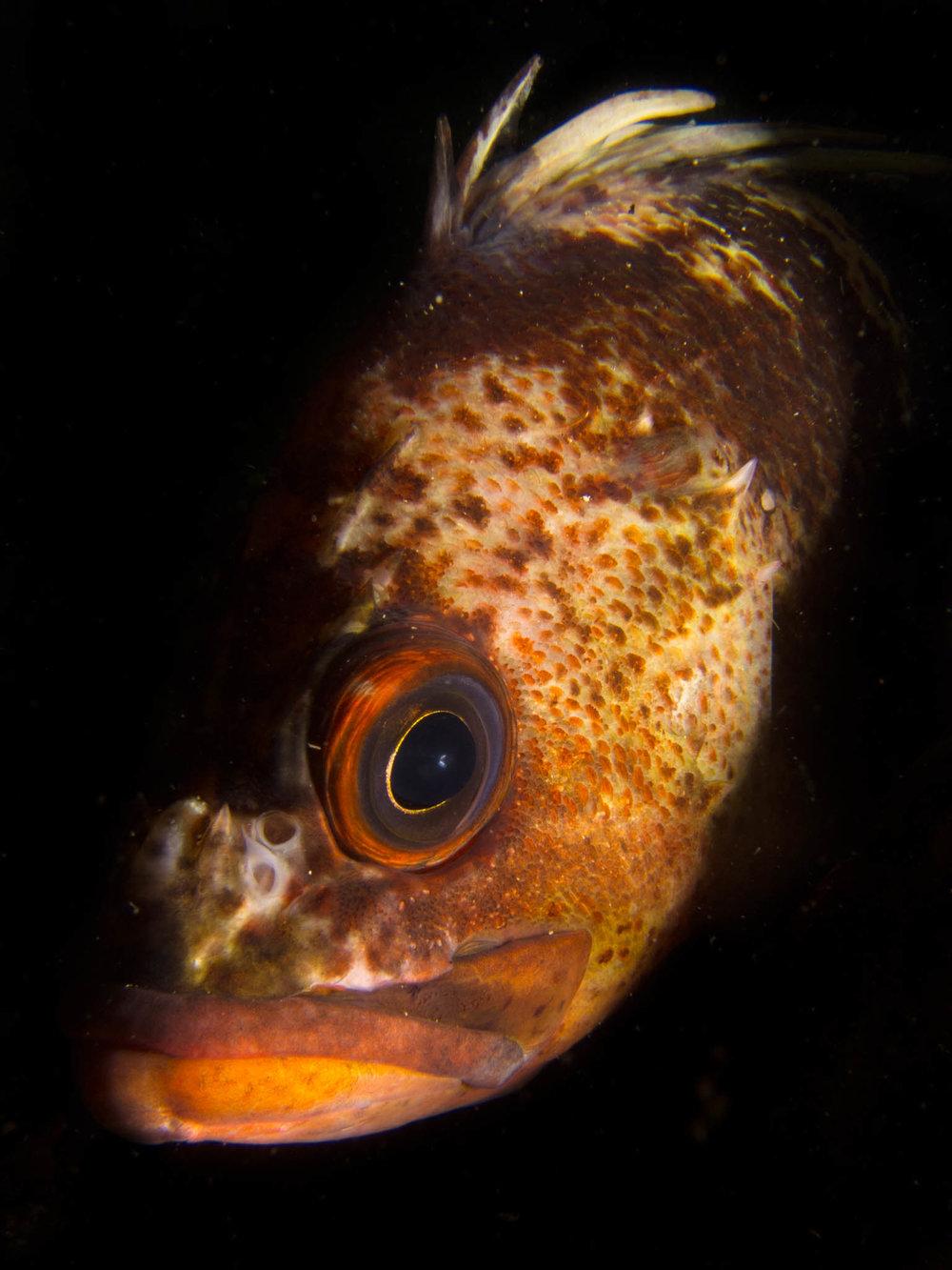 Quillback Rockfish