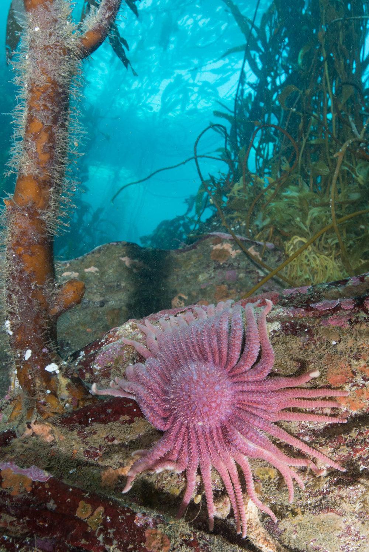 Fragile Sticky-Ray Star in Tree Kelp