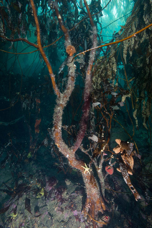 Tree Kelp