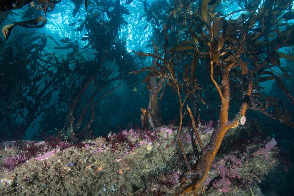Tree Kelp Forest
