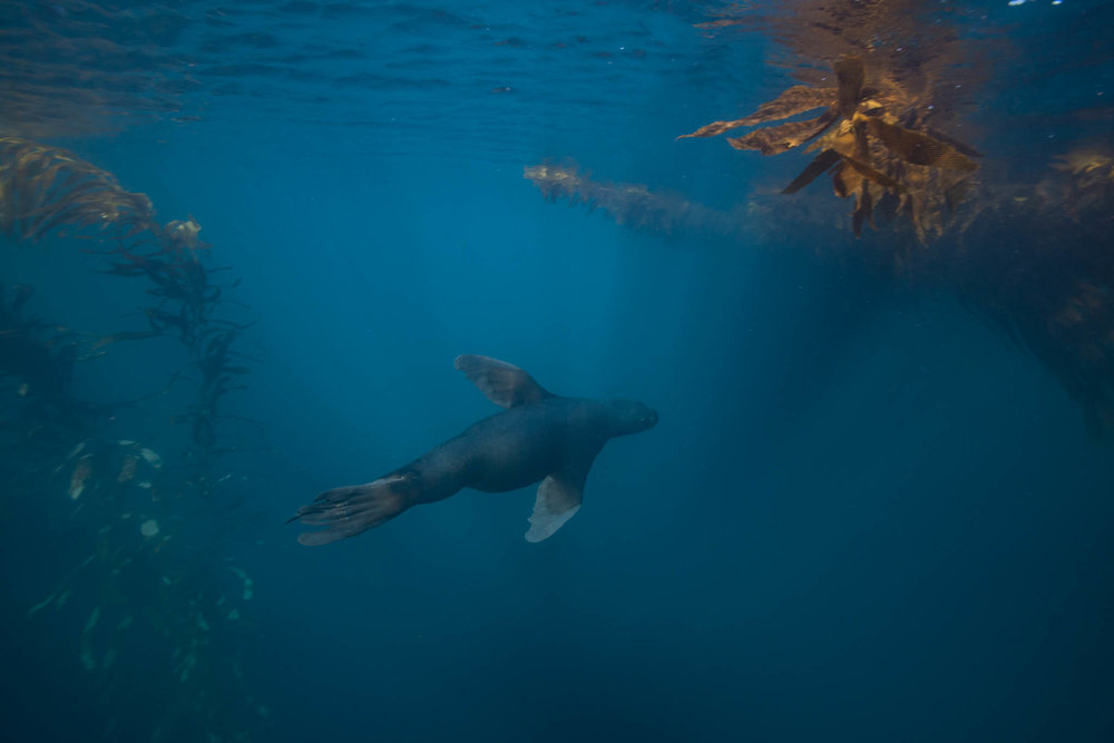 Southern Sea Lion