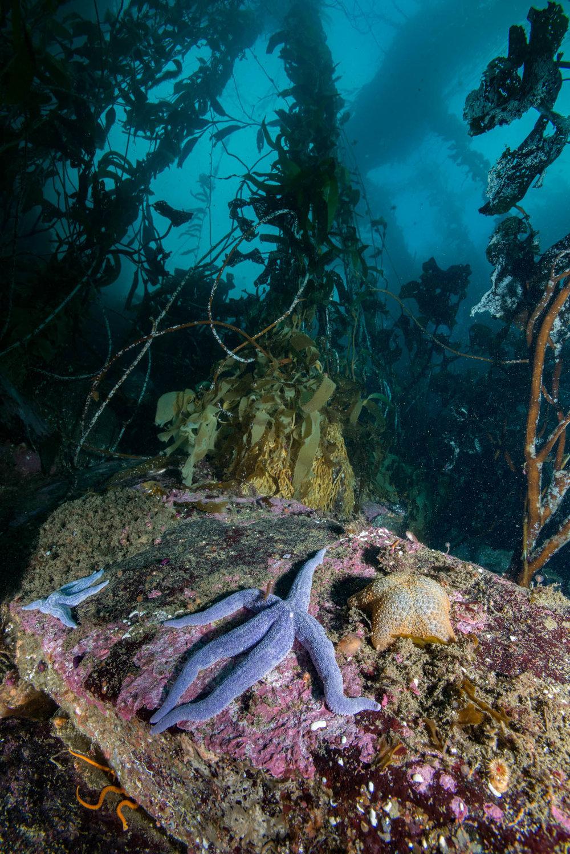 Sea Star and Kelp