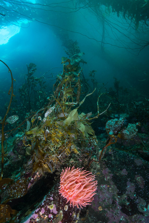 Kelp and Anemone