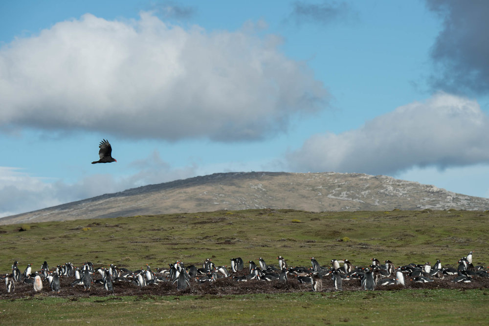 Turkey Vulture overflying Gentoo Penguins