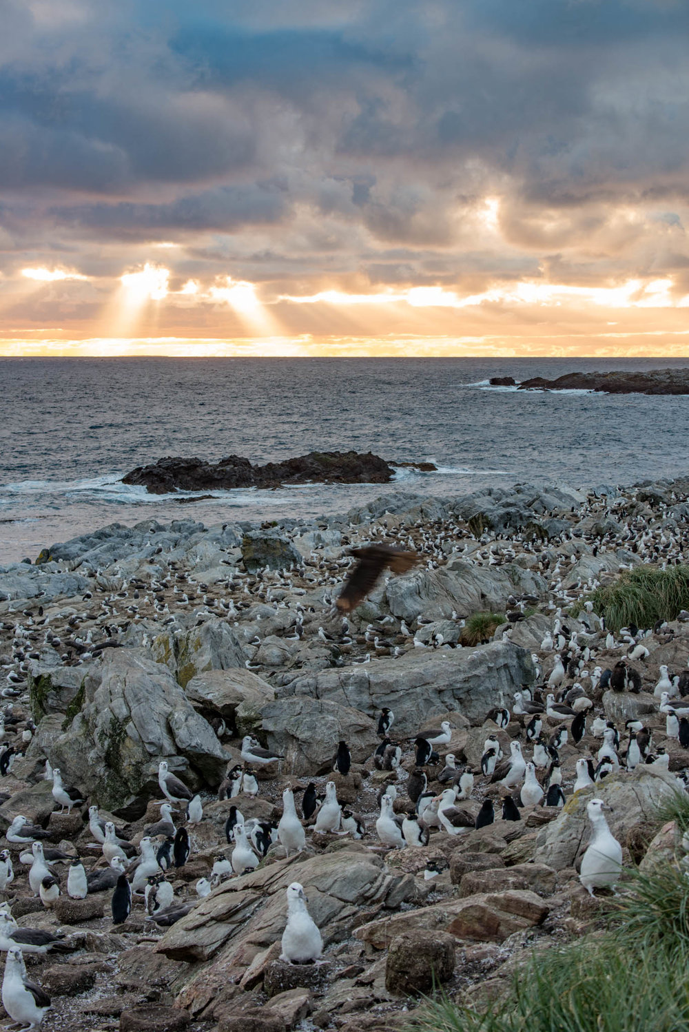 Black Browed Albatross and Rockhopper Penguin Colony