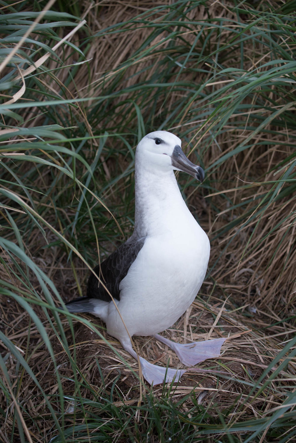 Black Browed Albatross Chick