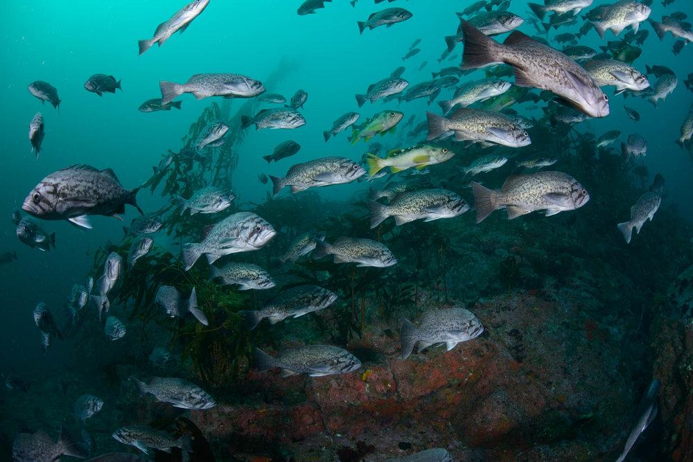 Blue Rockfish