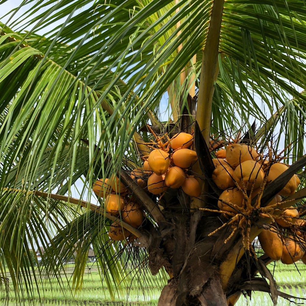 Coconuts in Bali.