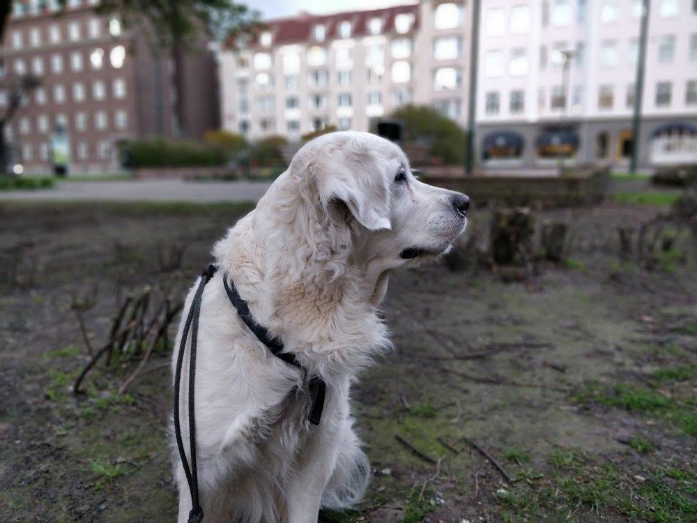 Portrait Mode  lyckas även fånga vår hund bra så länge hon inte rör sig för mycket..