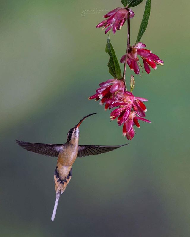 I was going through my old photos the other day and came across my shots from my recent trip to Ecuador and the Galapagos, I hadn't posted any shots before as I usually like to stick to landscapes but I thought I'd make an exception this time. I took this shot of a hummingbird while on tour with @tropicalbirding let me know what you think, should I post more wildlife shots? ⠀⠀⠀⠀⠀⠀⠀⠀⠀⠀⠀⠀⠀⠀⠀⠀⠀⠀⠀⠀⠀⠀⠀⠀⠀⠀⠀⠀ P.s If you're ever thinking of heading on a birding or wildlife photo tour I couldn't recommend @tropicalbirding highly enough, they were extremely friendly and helpful when trying to find the rare stuff. This post isn't sponsored. ⠀⠀⠀⠀⠀⠀⠀⠀⠀⠀⠀⠀⠀⠀⠀⠀⠀⠀⠀⠀⠀⠀⠀⠀⠀⠀⠀⠀⠀ ⠀⠀⠀⠀⠀⠀⠀⠀⠀⠀⠀⠀⠀⠀⠀⠀⠀ -------------------------------------------- Shot with:  @Canonaustralia 6D  @sigmaphotoaustralia @siruiaustraliaW-2204 Tripod with K-30x Ball Head --------------------------------------------- ⠀⠀⠀⠀⠀⠀⠀⠀⠀⠀⠀⠀⠀⠀⠀⠀⠀⠀⠀⠀⠀⠀⠀⠀⠀⠀⠀⠀⠀⠀⠀⠀⠀⠀⠀⠀⠀⠀⠀⠀⠀ #tropicalbirding #ecuador #visitecuador #birding #southamerica #earth_deluxe #ig_today #huffpostgram #tandayapa #canonaustralia #Exploringtheglobe #bestworldpics #phenomenalshot  #splendid_shotz  #audubonsociety #earthpix  #ig_bliss #earthpics #amazing_captures #sigmamoment  #quitoecuador #canon_photos #igrefined  #global_hotshotz #bestnatureshots #igpowerclub #igphotoworld #quito