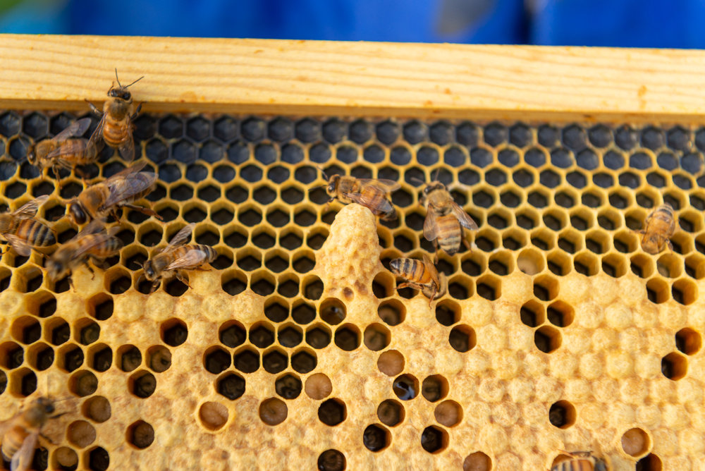 A queen bee cell! This means the hive is working to requeen itself. Hope is not lost!