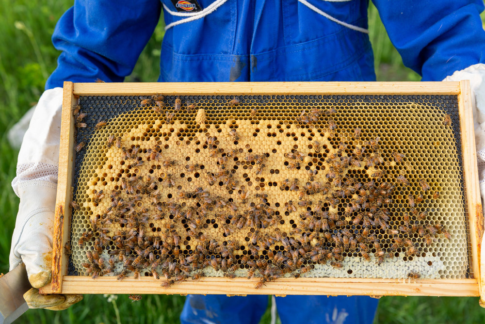 The borrowed frame of eggs from the Green Hive all capped over—the only new workers yet to emerge.